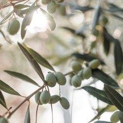 L'huile d'olive, ingrédient phare de notre escale Tradition de Marseille, est reconnue depuis des siècles pour ses propriétés nourrissantes et protectrices 🌿Au quotidien, elle contribue à maintenir la peau bien hydratée, à lui redonner éclat ✨ et fraîcheur. Hypoallergénique, elle est parfaitement tolérée par les peaux les plus sensibles et apaise celles sujettes aux rougeurs et irritations. Bienfaisante et caractéristique odeur de propre, de naturel, à la note hespéridée, qui rappelle le parfum du linge des lavandières de Provence 🌾🇬🇧Olive oil, the star ingredient of our Tradition de Marseille stopover, has been known for centuries for its nourishing and protective properties 🌿On a daily basis, it helps to keep the skin well moisturised, giving it back its radiance and freshness. Hypoallergenic, it is perfectly tolerated by the most sensitive skins and soothes those prone to redness and irritation. A beneficial and characteristic clean, natural scent, with a citrus note, reminiscent of the scent of the laundry of the Provencal washerwomen 🌾