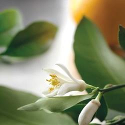 Majestueuse souveraine du jardin d'Orient, le néroli de Capri est particulièrement apprécié pour ses vertus adoucissantes et régénératrices. Son universalité est gage de son succès : elle apaise et rafraîchit les peaux jeunes, régénère et raffermit les peaux matures.Retrouvez cette senteur unique dans notre collection Néroli de Capri chez Tadé et Fleur d'Oranger chez AleppoSoapCo 🍊🇬🇧 Majestic sovereign of the oriental garden, Capri neroli is particularly appreciated for its softening and regenerating virtues. Its universality is a guarantee of its success: it soothes and refreshes young skin, regenerates and firms mature skin.Find this unique scent in our Neroli de Capri collection at Tadé and Orange Blossom at AleppoSoapCo 🍊#tade #tadepaysdulevant #alepposoapco #alepposoap #soap #savon #savondalep #savondalepveritable #paindalep #cosmosnaturalcertified #skincare #savondemarseille #marseillesoap #realmarseillesoap #pneurecyclé #seldelamermorte #mermorte #cosmétiquebio #cosmétiquenaturelle