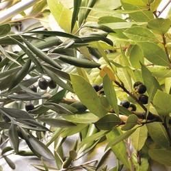 """Les actifs phares du savon d'Alep ? L'huile d'olive et l'huile de laurier bien sûr 🌱Nourrissante et émolliente, très douce et hypoallergénique, l'huile d'olive est chérie des épidermes les plus délicats ou réactifs Quant à l'huile de laurier, ses propriétés régénératrices et antioxydantes sont panacée des affections dermatologiques. C'est du laurier noble que l'""""Alep"""" tire sa note boisée, dont l'intensité varie suivant la teneur et sa coloration vert bistre si caractéristique 💚🇬🇧 The main active ingredients of Aleppo soap? Olive oil and laurel oil of course 🌱Nourishing and emollient, very soft and hypoallergenic, olive oil is cherished by the most delicate or reactive epidermis As for laurel oil, its regenerative and antioxidant properties are a panacea for dermatological ailments. It is from the noble laurel that """"Aleppo"""" gets its woody note, the intensity of which varies according to the content and its characteristic bistre green colouring 💚#tade #tadepaysdulevant #tadépaysdulevant #alepposoapco #alepposoap #soap #savon #savondalep #savondalepveritable #paindalep #cosmosnaturalcertified #cosmetiquenaturelle #handcare #skincare #savondemarseille #marseillesoap #realmarseillesoap #traditiondemarseille #pneurecyclé #decoration #recycled #ecofriendly #trendy #homedecorating"""